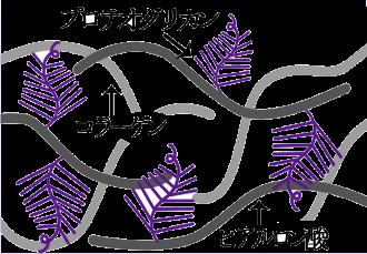 プロテオグリカン細胞と細胞の間