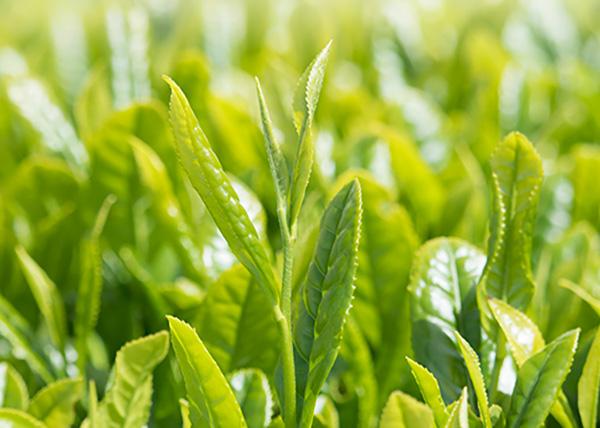 新茶のイメージ画像
